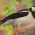 Mengenal Habitat Jalak Suren Atau Burung Satpam