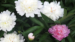 Smell the Peonies!