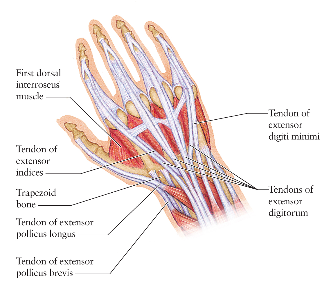 Human Anatomy for the Artist: The Dorsal Hand: The Dorsal Foot\'s ...