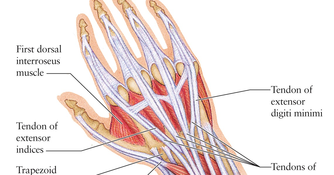 Tendons In The Hand Diagram - Block And Schematic Diagrams •