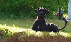 """Vår Portugisiska vattenhundshane: """"Atreyu"""" Digadog's the Nice One (-07)"""