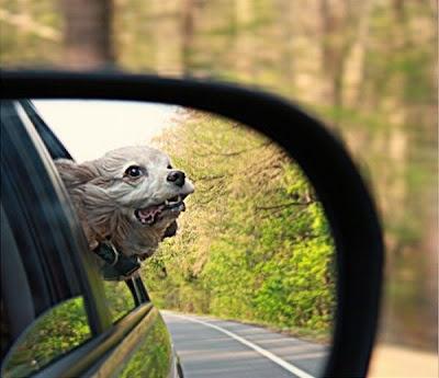 foto cachorro na janela do carro