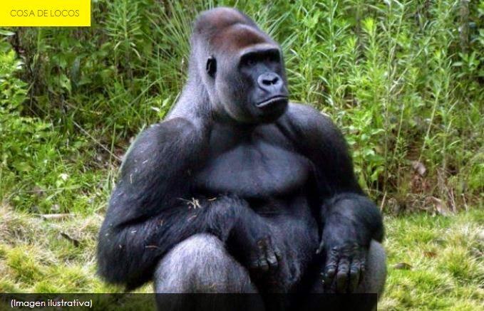 Se disfrazó de gorila y le dispararon con dardo tranquilizante
