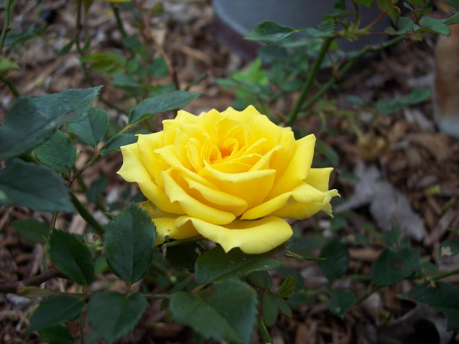 Climbing Yellow Rose Bush The yellow rose is a miniature