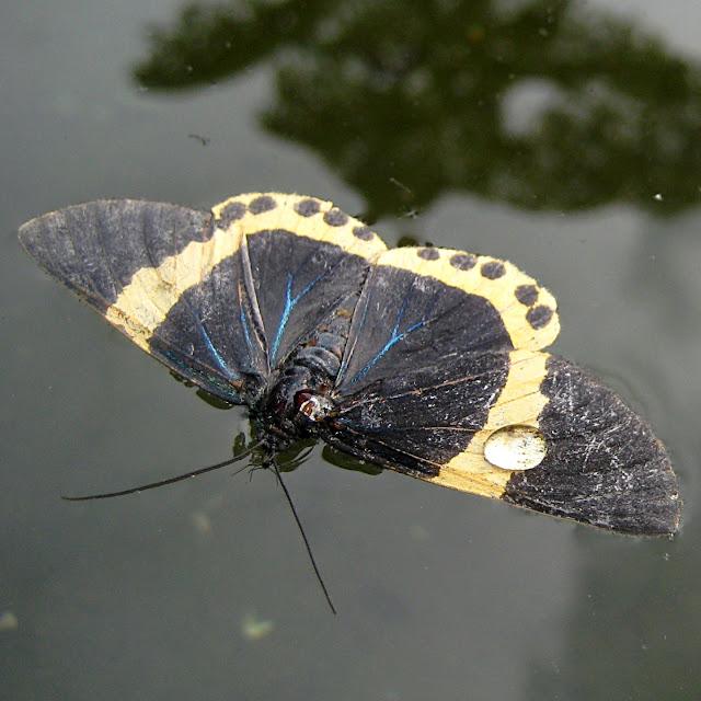 Død sommerfugl på vandet