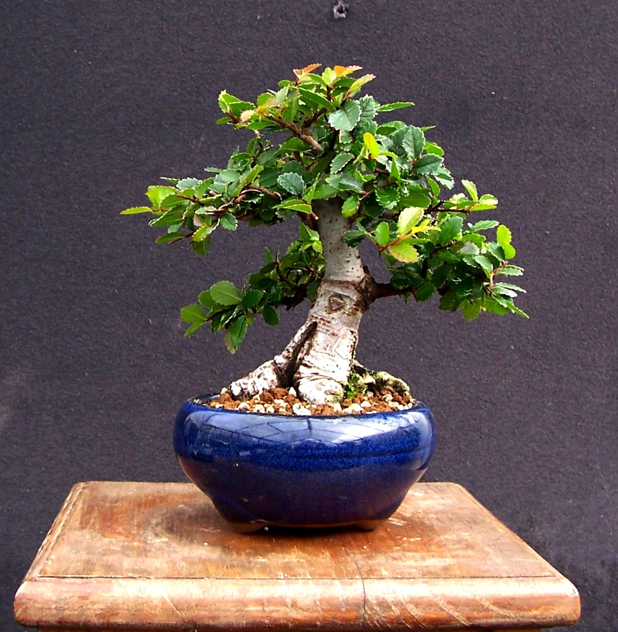 MiKo Bonsai Chinese Elm Mame Progression