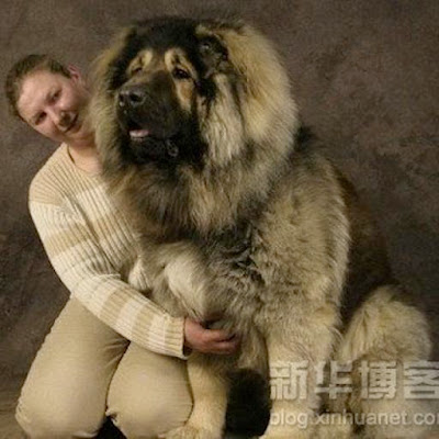 Biggest Tibetan Mastiff in the World
