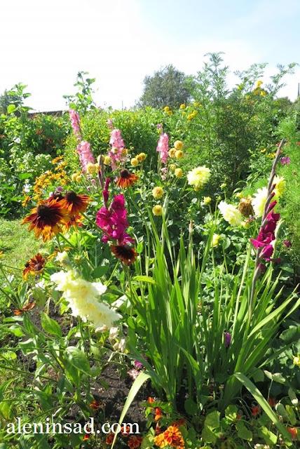 гладиолусы из детки, аленин сад, в августе, рудбекия, георгины, бархатцы
