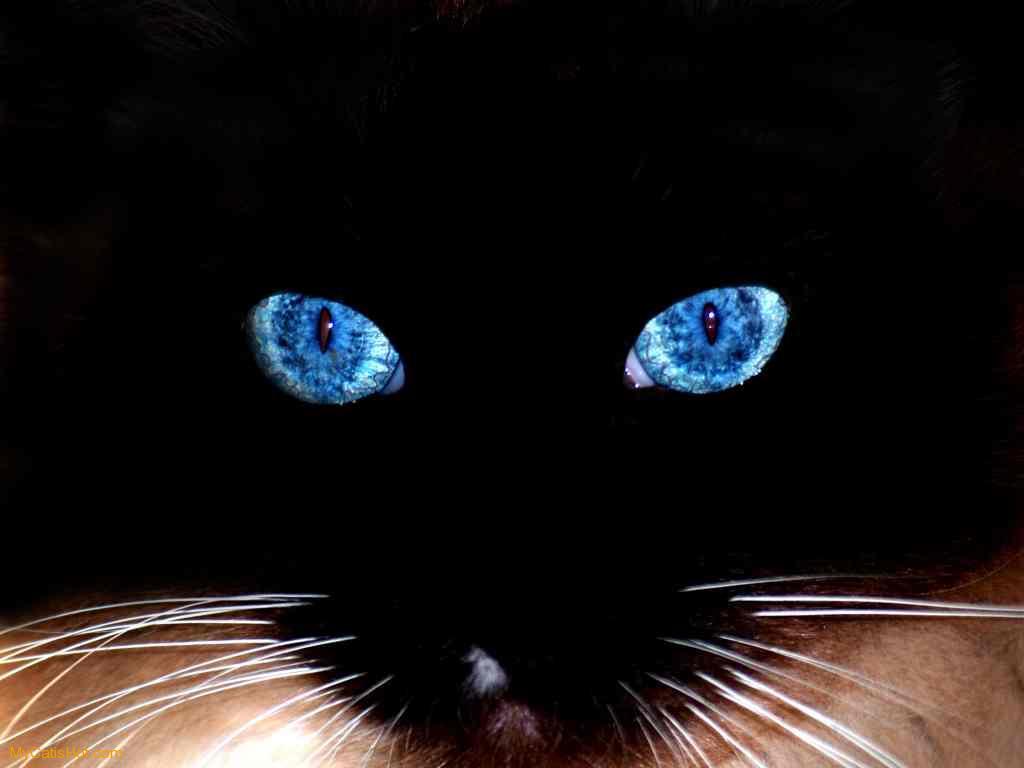 Gambar Kucing Persia Lucu Dan Imut