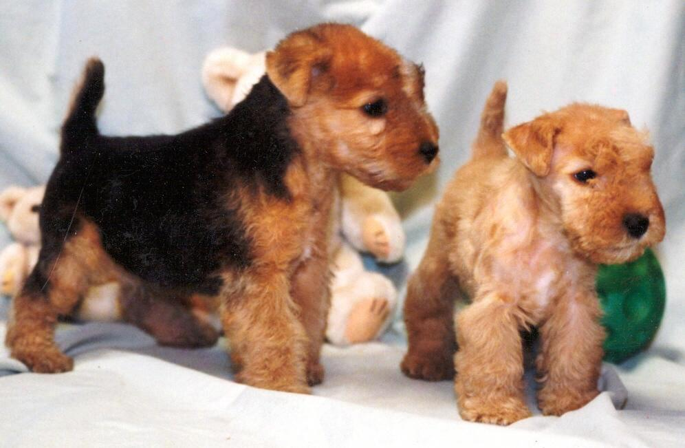 About Dog Lakeland Terrier