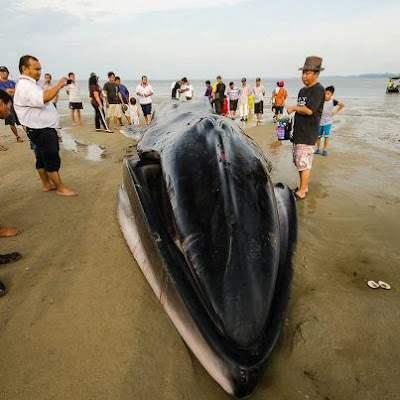 ikaun paus terdampar di kuala penyu pantai sabah