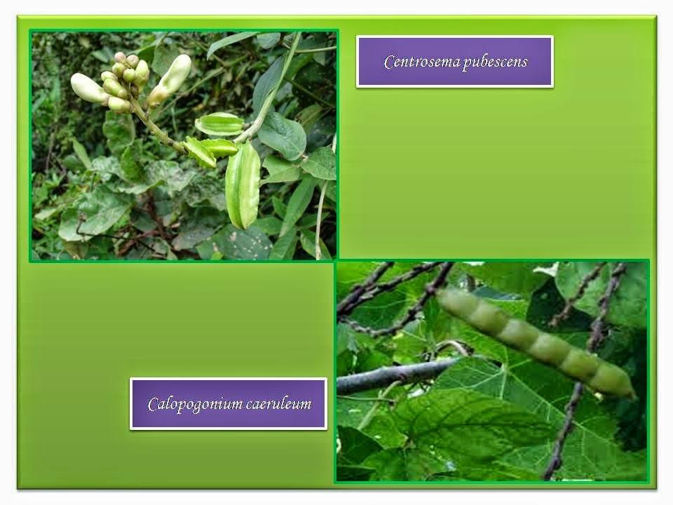 Calopogonium caeruleum (CC)