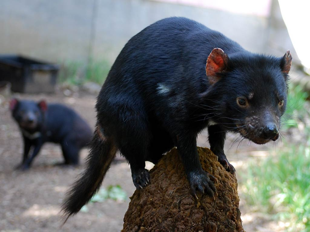 tasmanian devils The tasmanian devil is famous for two things one, it's ornery as all hell and two,  it's the unfortunate carrier of a nasty transmissible form of.