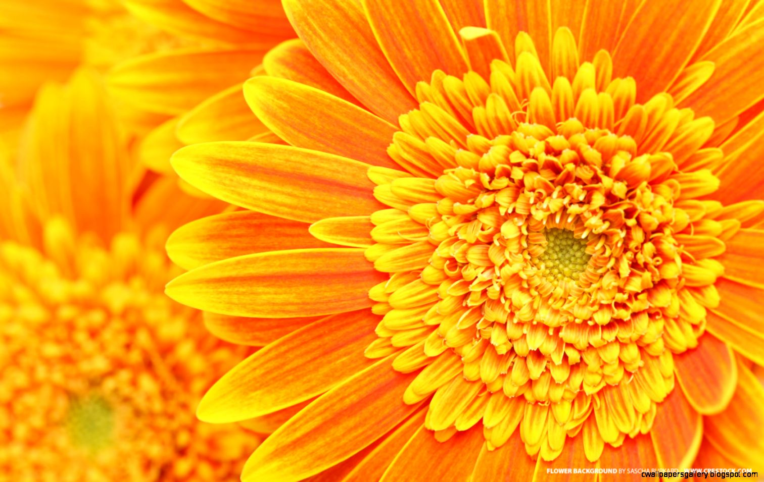 Orange Flower Background   Flowers And Plants Wallpaper