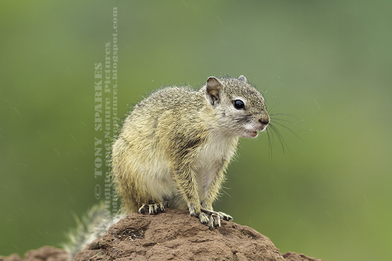 Tree Squirrel (Paraxerus cepapi) sat on top a 'mud mound' in Kruger National Park