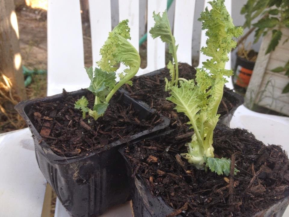 Root kale cuttings in small containers.