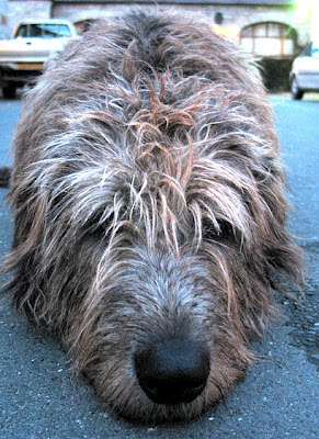 Irish Wolfhound by viclindsay