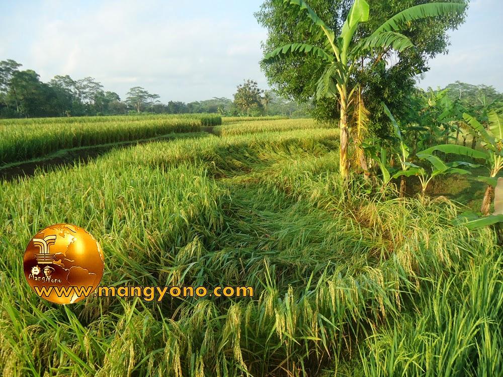 Tanaman padi di Subang roboh terkena angin kencang. Foto jepretan admin di sawah admin.