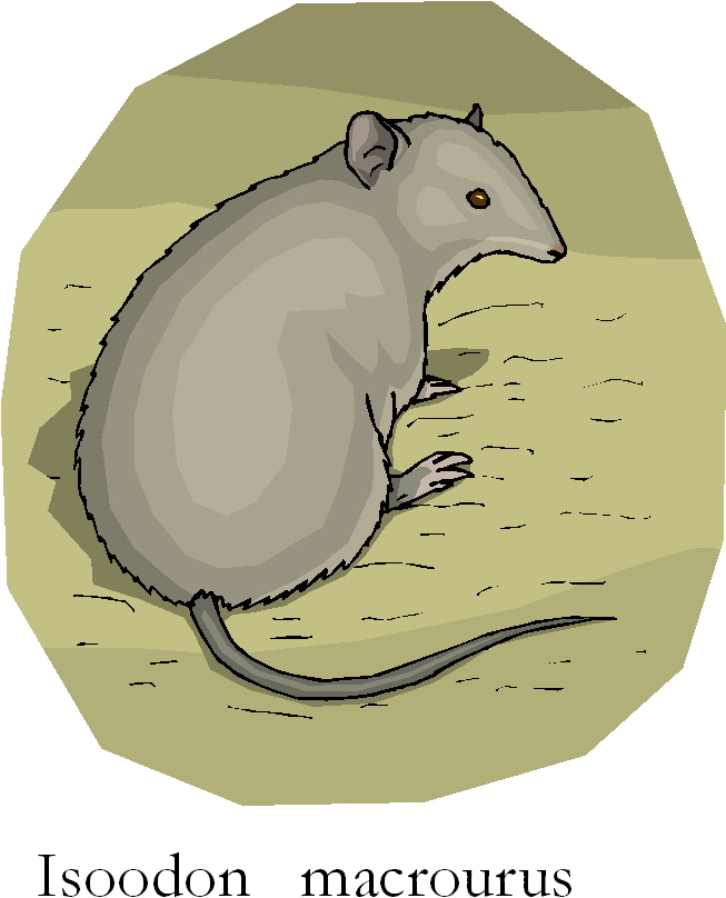 Northern Brown Bandicoot | Isoodon Macrourus Free Clipart