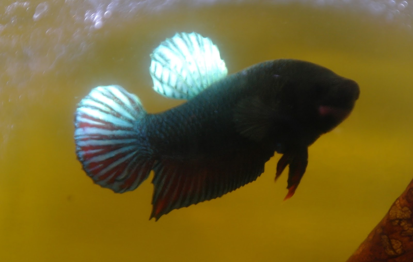 Ikan Tarung