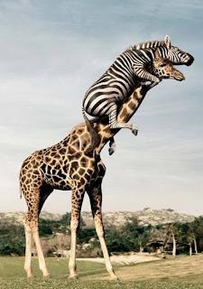 Zebra em cima de girafa