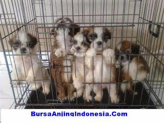 Anjing Indukan Dijual