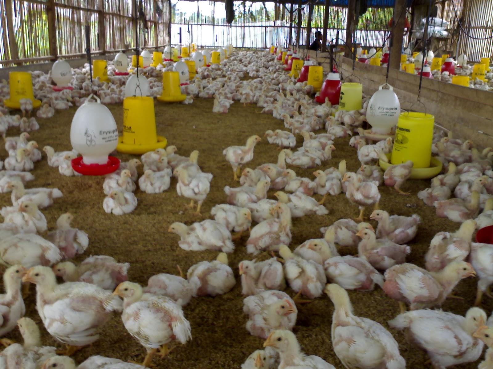 ternak hewan: cara ternak ayam pedaging