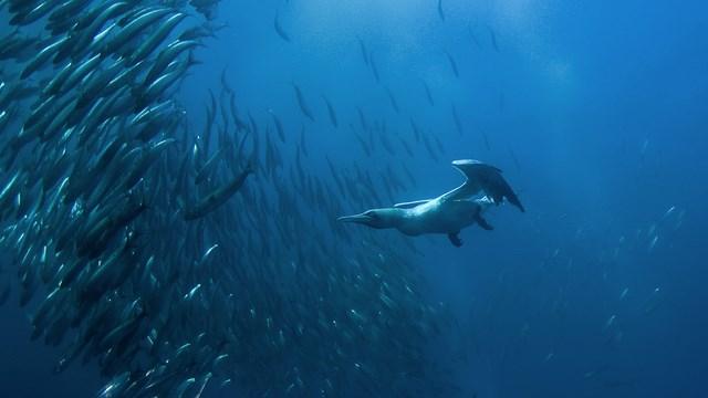 Questa è una SULA (Gannet in inglese) a caccia di pesci