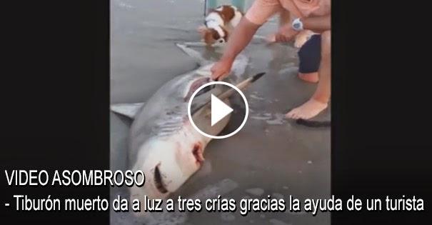 VIDEO ASOMBROSO - Tiburón muerto da a luz a tres crías gracias la ayuda de un turista