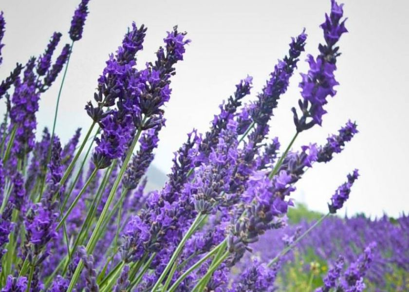 Lavender Flower Wallpaper