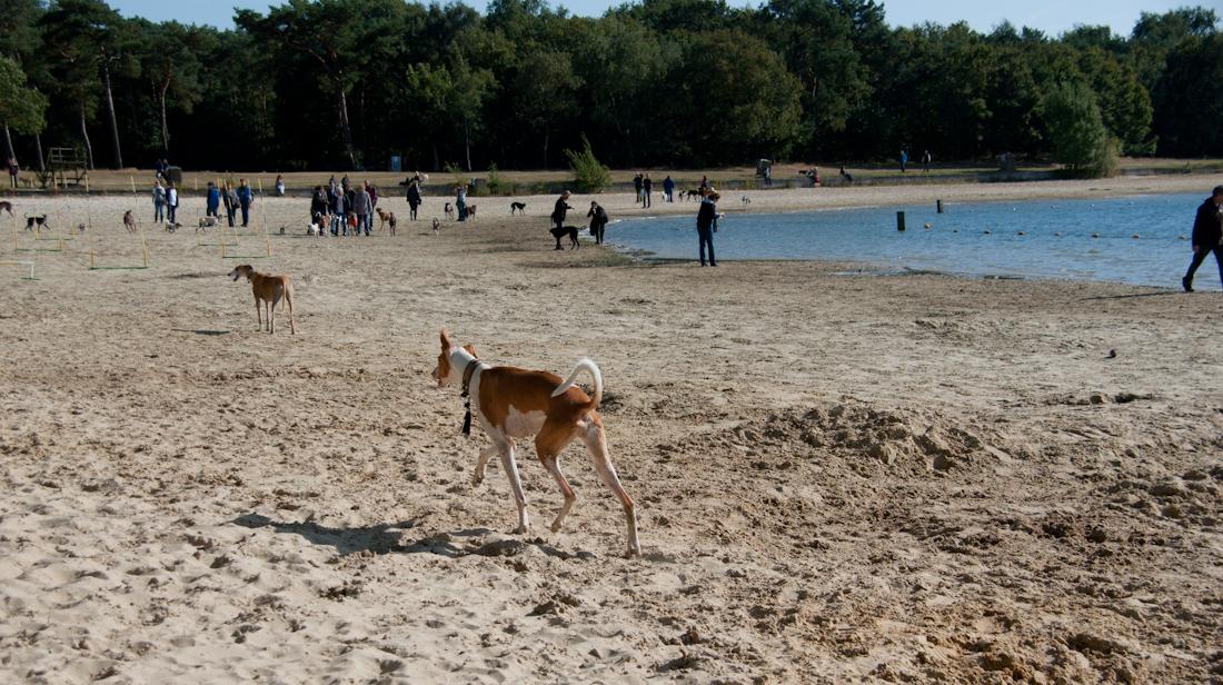Xolo-Podenco: Open dag Greyhounds Rescue Holland