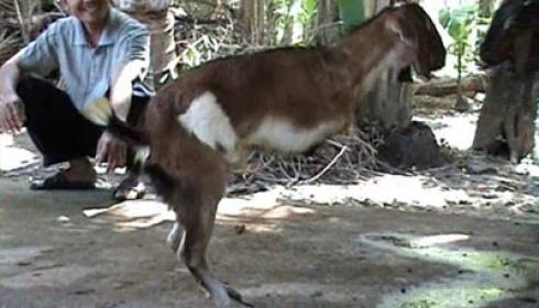 kambing berjalan tegak