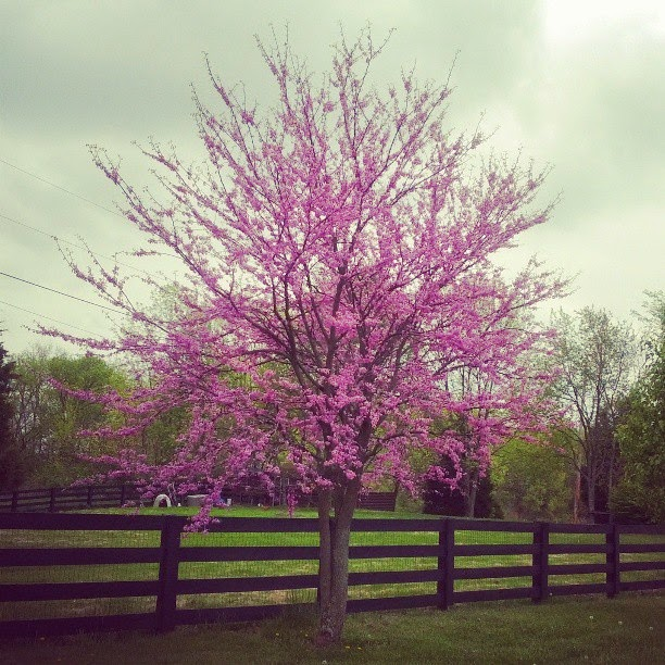 Red Buds in Full Bloom