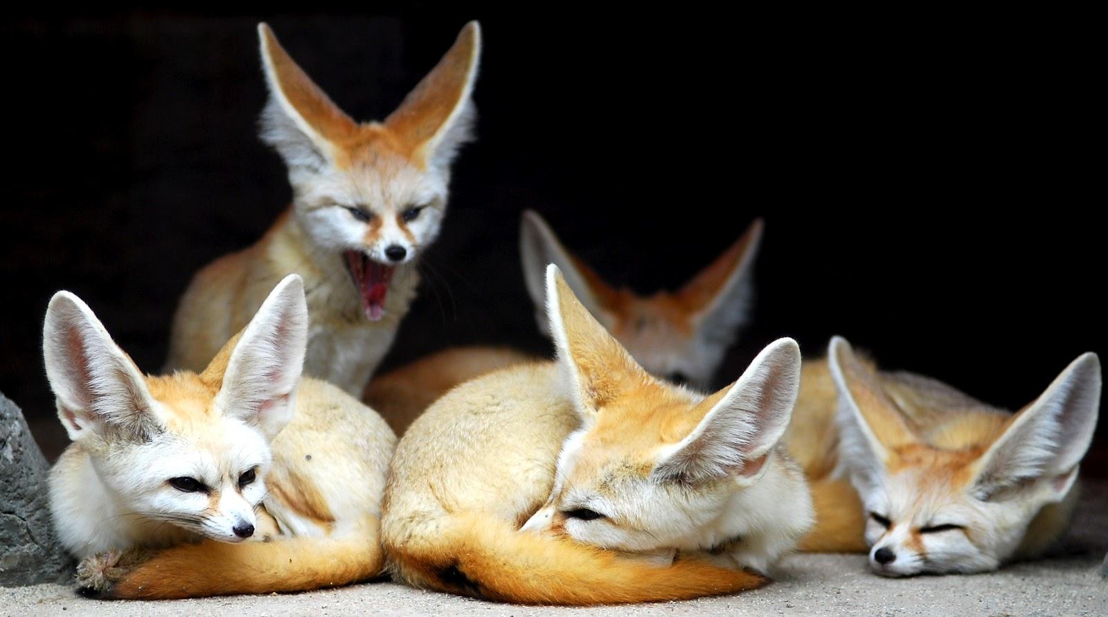 O livro da natureza raposas - Pagina da colorare fennec fox ...
