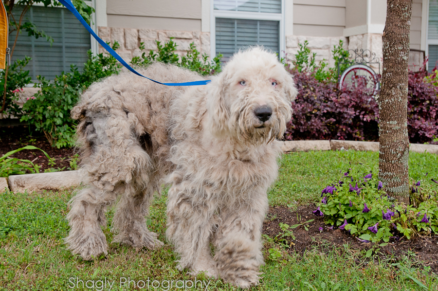 Old English Sheepdog Blue Eyed Puppies  Ask an Expert