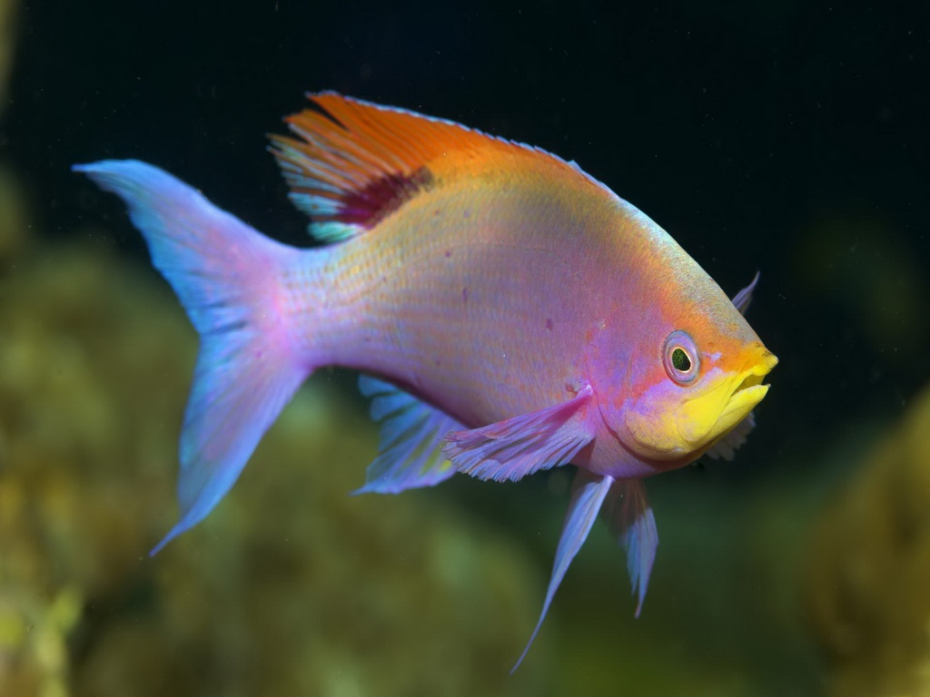 Pelvicachromis pulcher freshwater fish wallpee for Freshwater wolf fish
