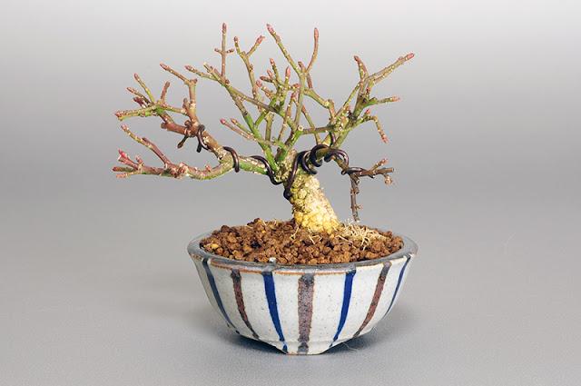 コマユミ-K1(小真弓盆栽)Euonymus alatus bonsai