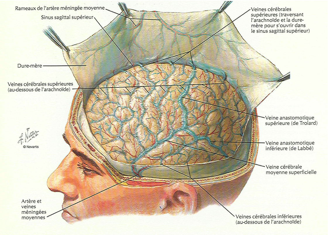 Neurociencia y Plasticidad Cerebral: Arterias meningeas y vista del ...