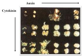 Cytokinin: Auxin ratio