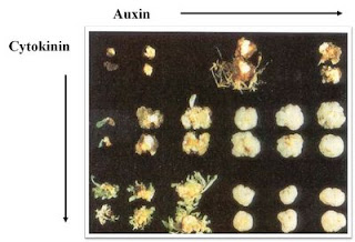 Cytokinin: Auxin ratio