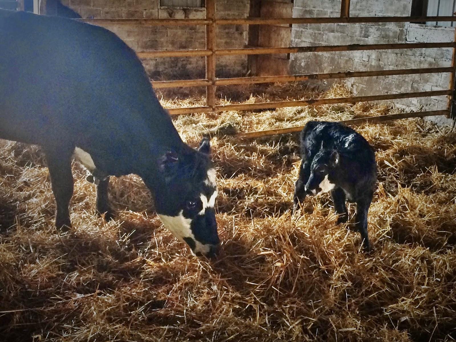 Newborn Heifer