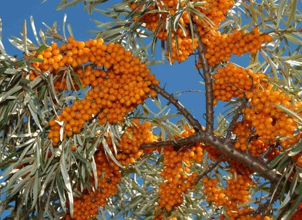 Can you eat sea buckthorn berries the garden of eaden - Growing sea buckthorn ...