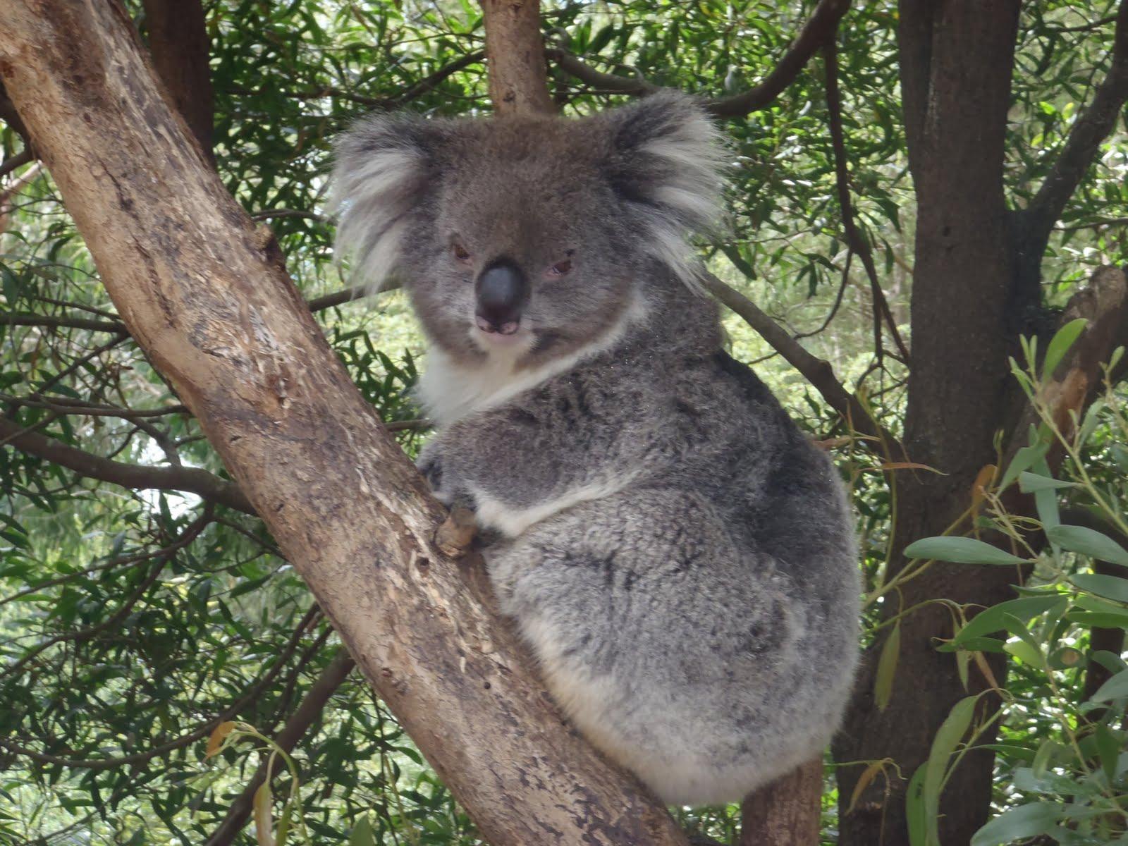 australian native anim...