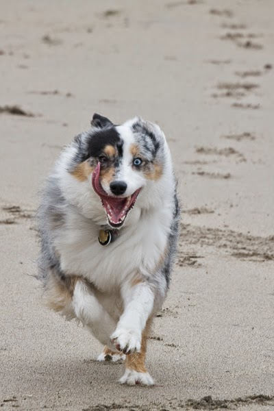 Australian shepherd running at full tilt on a beach, tongue out so far it's almost licking on of her eyes, which are different colors (brown and blue).