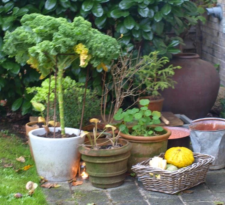 Plant grønkål i krukker og nyd kålens skønhed og smag