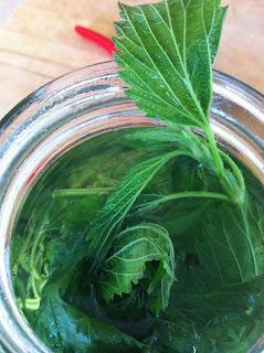 nettle, urtica dioica, health