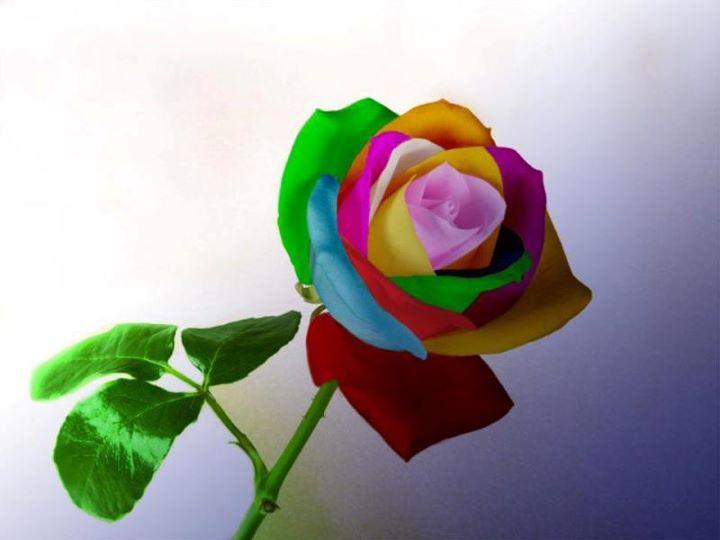 Las fotos mas alucinantes rosas de colores - Fotos de rosas de colores ...