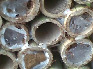 budidaya semut rangrang media bambu