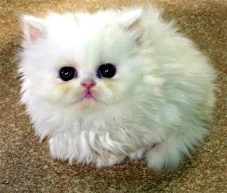 jual anak kucing persia murah di tangerang,bekasi,depok,peaknose murah,di sabah,anggora murah,