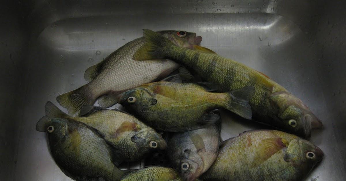 Lake erie fishing blog panfish abundant in presque isle bay for Presque isle bay fishing report